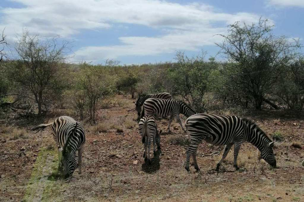 Zebras eating by the side of the road on safari in southern Africa
