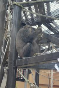 京都動物園の妊婦ゴリラがうんちを食べている