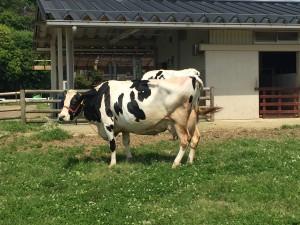 うだアニマルパークの牛