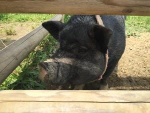 うだアニマルパークの豚
