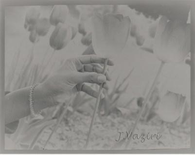 Solarized Tulips