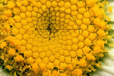 Sunflower center shows the logarithmic spiral occurring natural in nature.