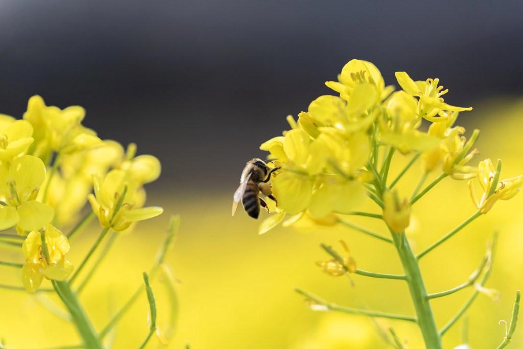 マクロで撮ったミツバチ