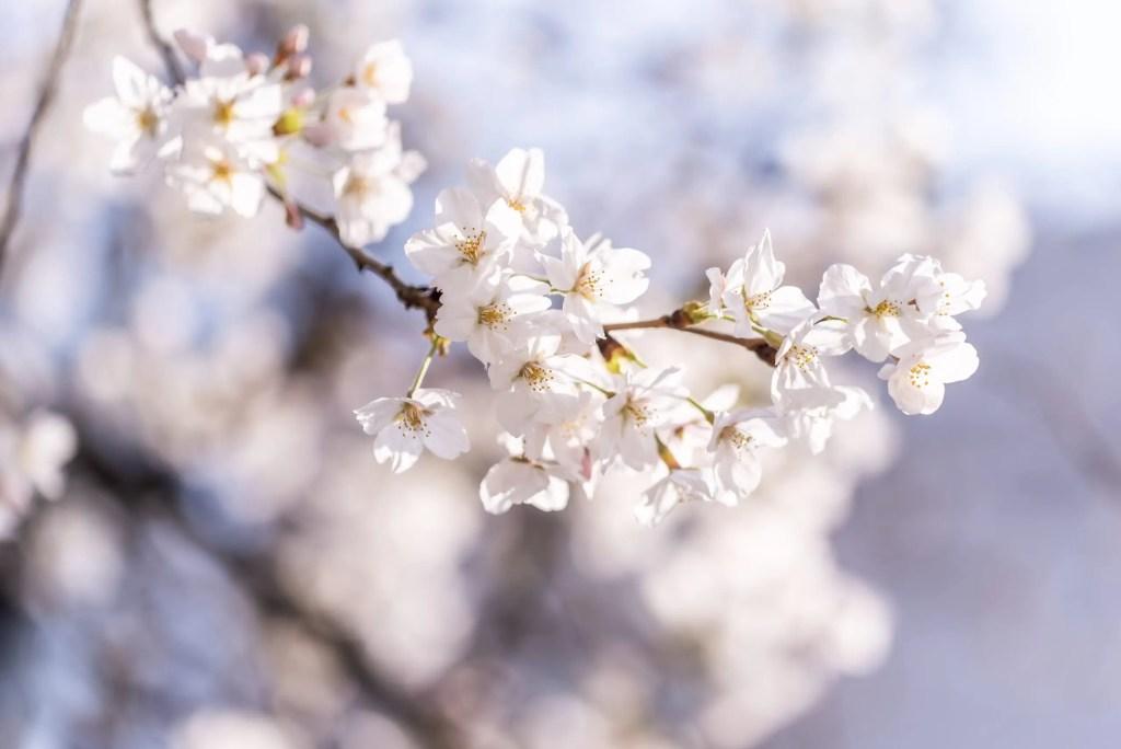マクロレンズは桜らしい写真が簡単に撮れる