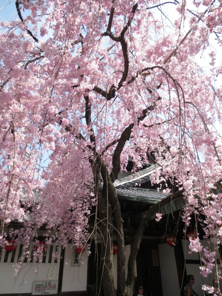 Bucket list moment in Japan: Witnessing the awesome Cherry Blossom Festival...in person. (2/6)