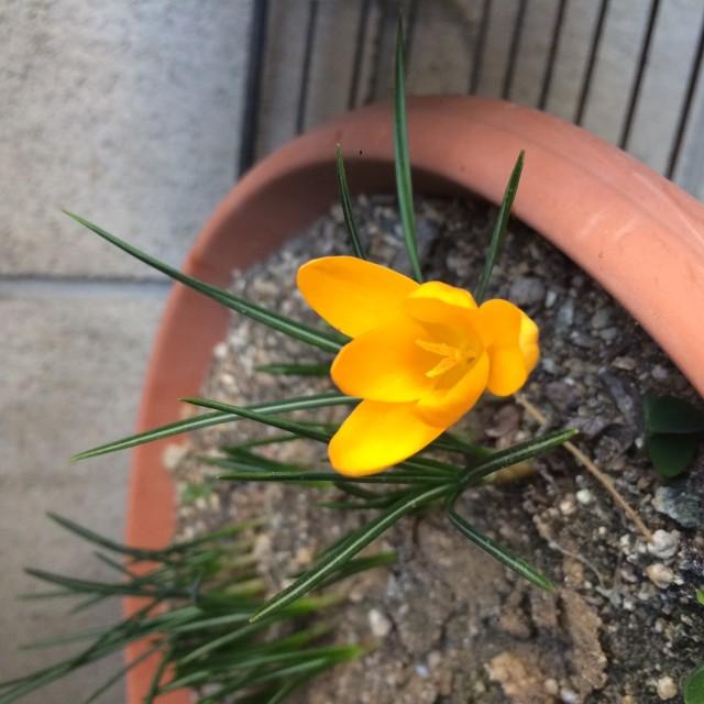 クロッカスが咲きました!