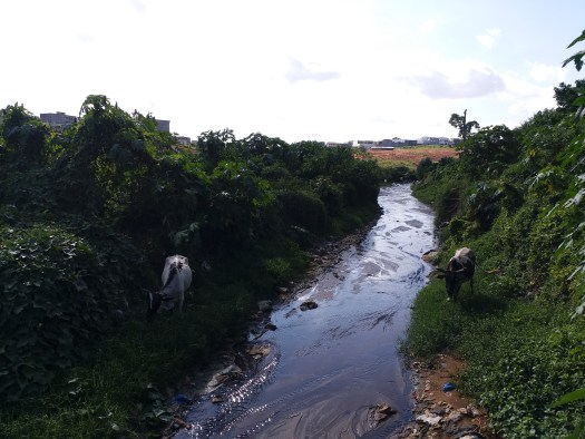 K in Motion Travel Blog. Cote d'Ivoire. Cows Being Cows