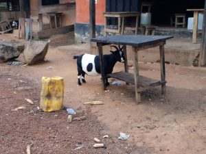 K in Motion Travel Blog. 7 Things To Know About Travel in Africa. Border Goat