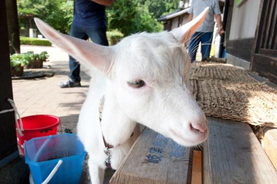 谷汲駅前にいたヤギ