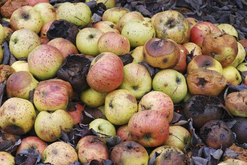 bigstock-pile-of-rotting-apples-30751604_0-500x334