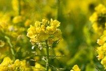 菜の花・・・野菜(菜っ葉)の花という意味から「菜の花」になった。おひたしや和え物(あえもの)として食べられる。