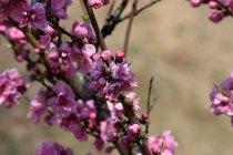 桃・・・中国原産の桃はかつて「邪気を祓うもの」と考えられていました。こういった背景のもと、魔除けと健康を願って飾られるようになりました。 また、中国では、結婚式で桃の形のお饅頭を食べる風習もあり、お祝いに欠かせない存在です。花言葉は「天下無敵」「私はあなとのとりこ」などがあります。