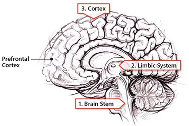 Understanding the Parts of the Brain Thoughtful Learning