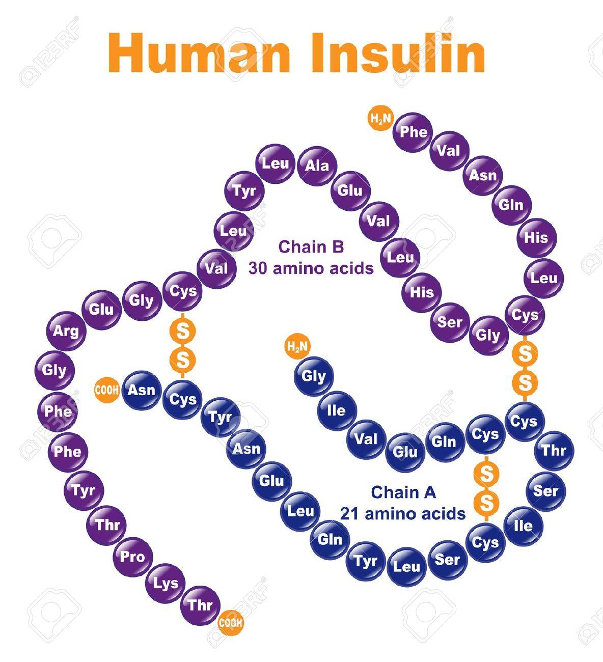 peptide structure diagram simple wiring trailer 7 pin plug be more sensitiveto insulin  k8ireland active