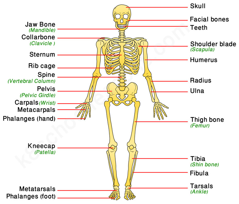 labeled diagram of spinal column vauxhall zafira wiring human skeletal system | body facts - skeleton & bones
