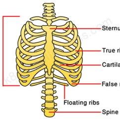 Rib Cage Bone Diagram 2006 Jeep Grand Cherokee Wiring Skeleton Ribs Diagrams Schema Rh 1 Pur Tribute De