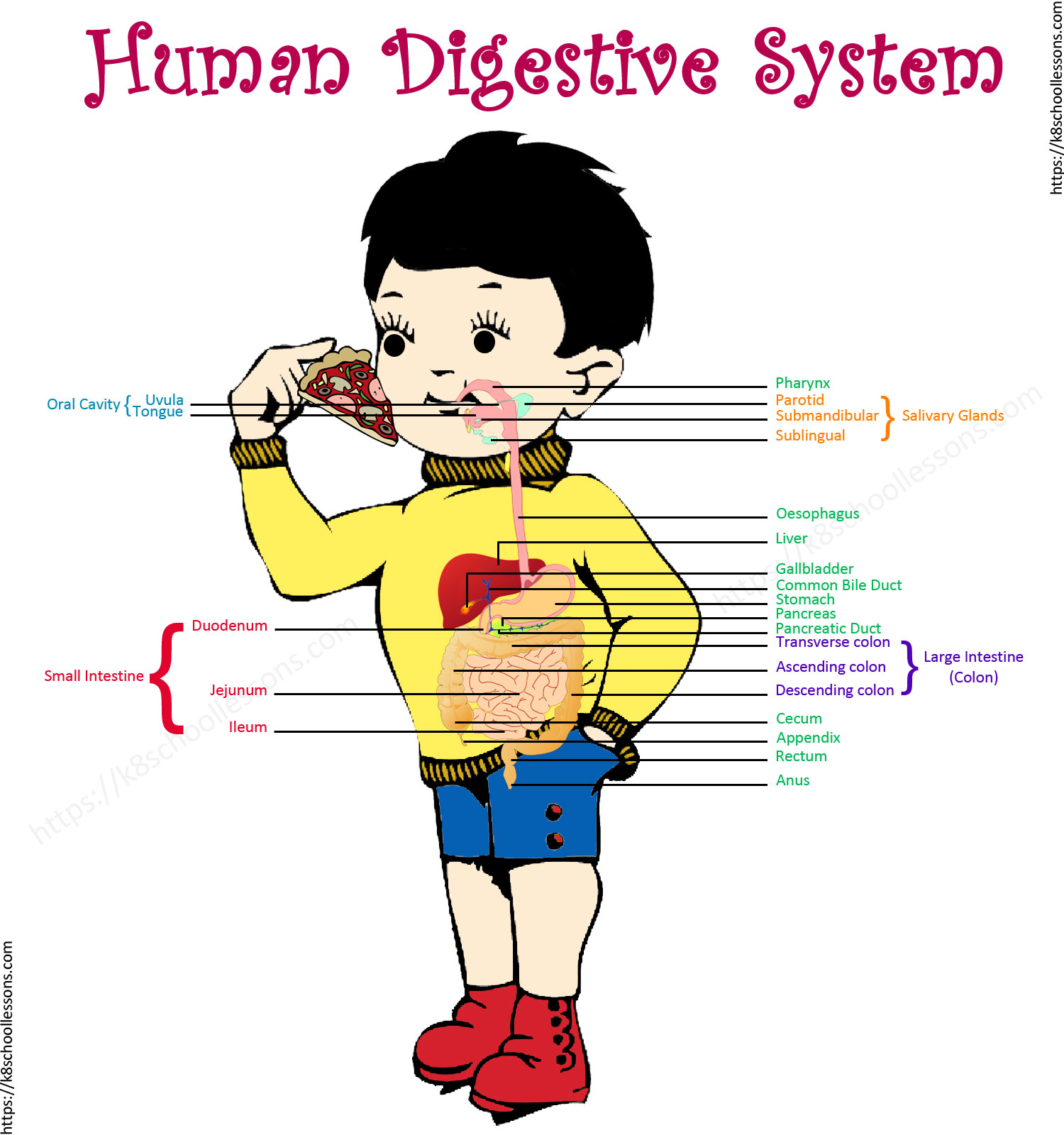 hight resolution of digestive system for kids human digestive system