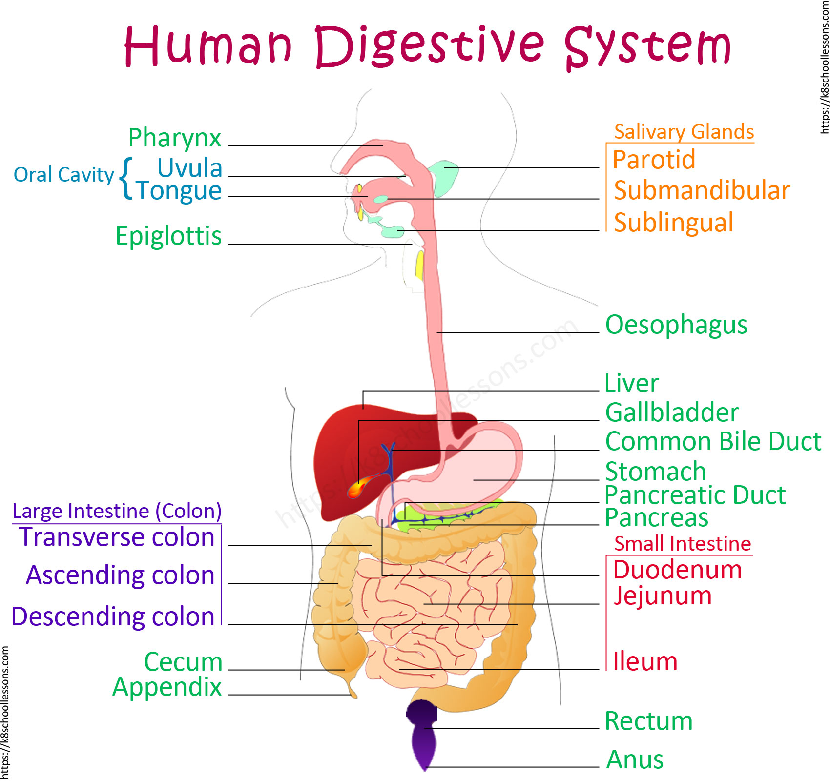 Human Digestive System Diagram Sciencelessons On