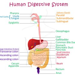 Human Digestive Tract Diagram 1985 Ford Ranger Wiring System For Kids