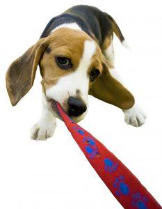 Dog playing tug-of-war