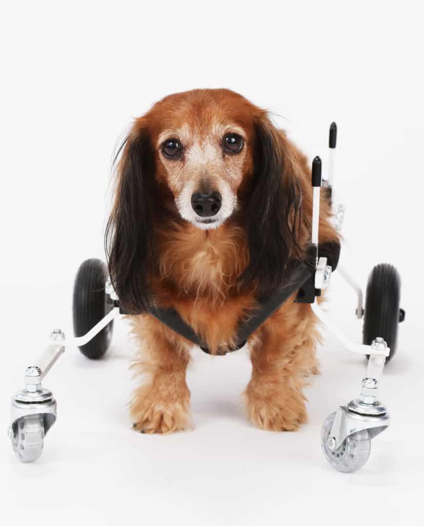 Pet Stroller Rental