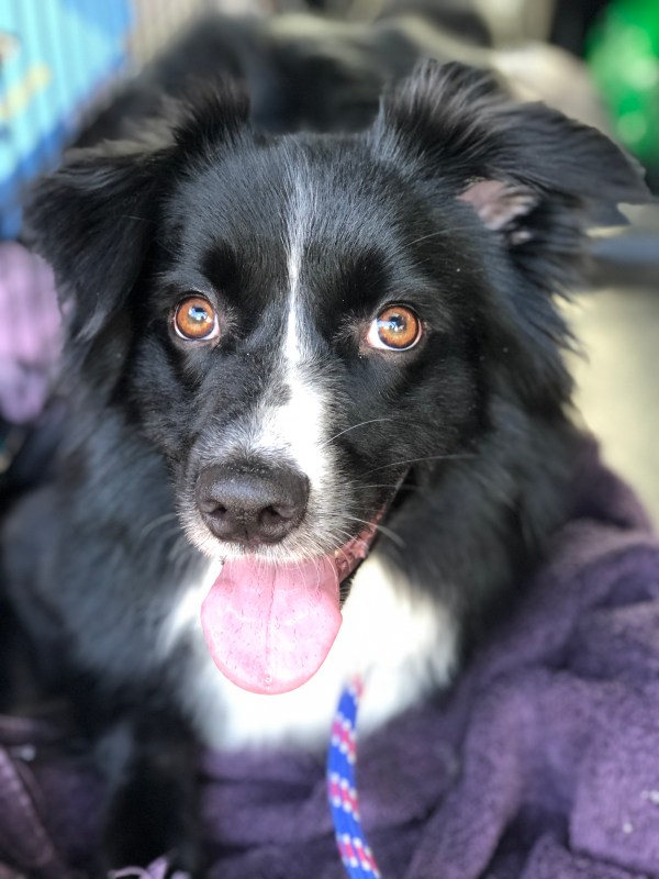 Australian Shepherd from Fort Worth, Texas