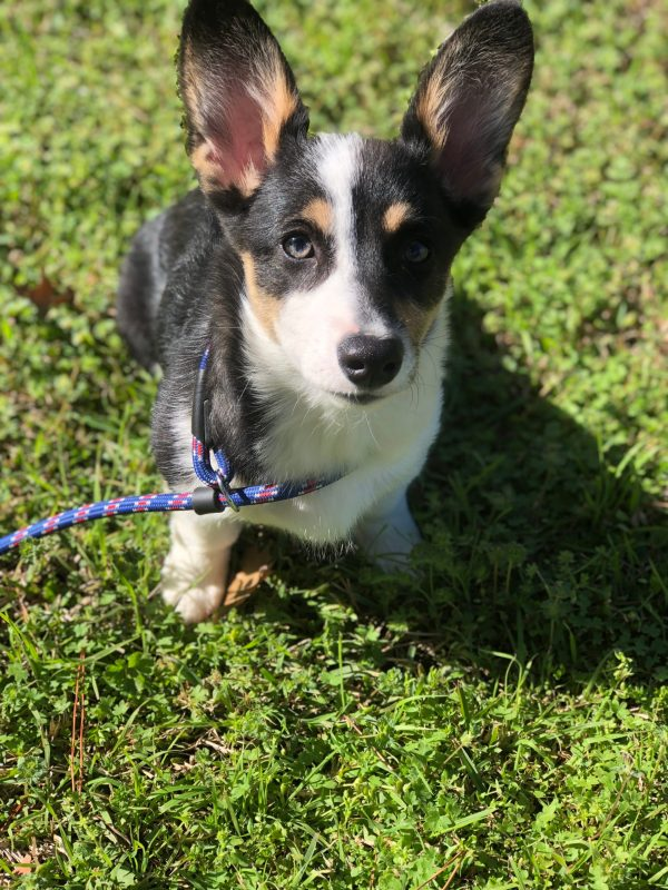 Iris is a 4 month old Pembroke Welsh Corgi from Fort Worth, Texas.