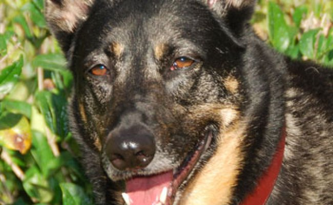 German Shepherd Rescue Of Orange County K9 Network