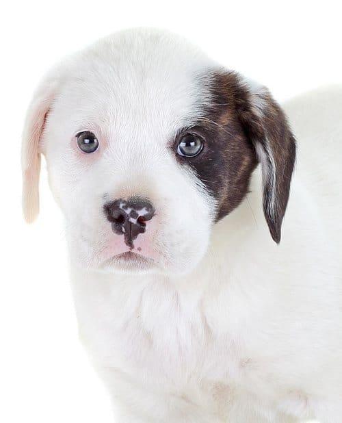 Labrador Mix Puppies For Sale Near Me : labrador, puppies, Labrador, Mixed, Breeds:, Lovable, Mixes, Lifelong, Loyalty