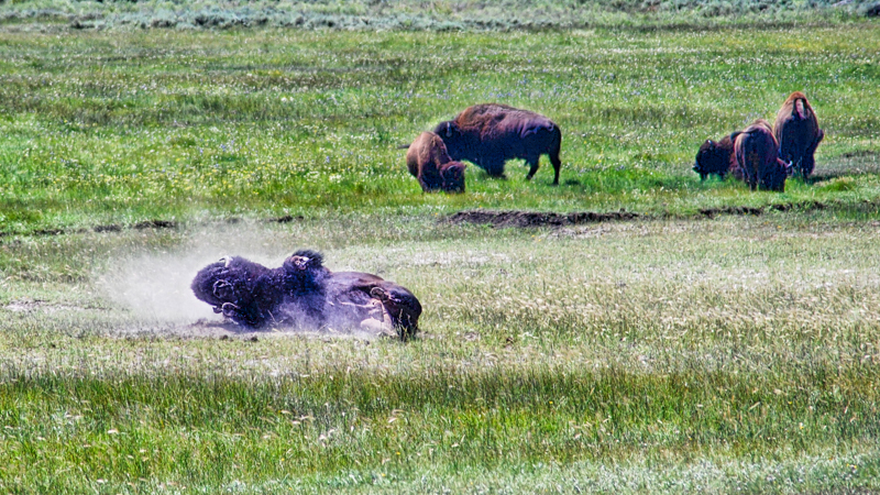 Bison wallowing