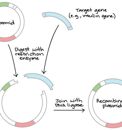 diagram depicting restriction digestion and ligation in a simplified schematic we start with a circular [ 1673 x 1111 Pixel ]