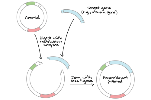 small resolution of diagram depicting restriction digestion and ligation in a simplified schematic we start with a circular