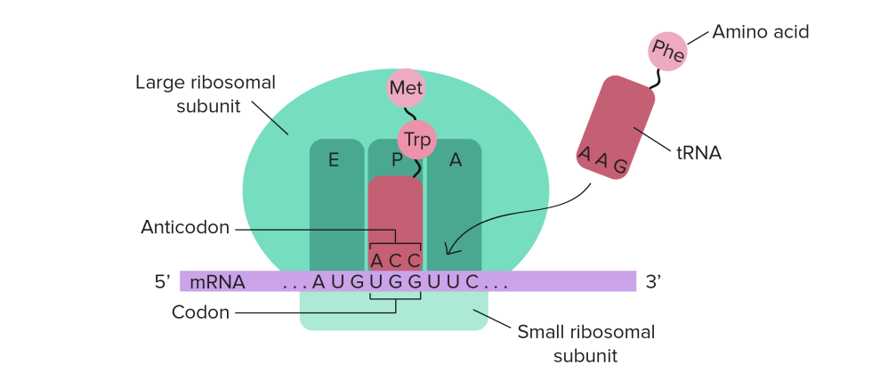 medium resolution of ribosome diagram