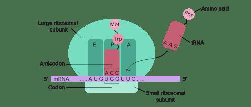 small resolution of ribosome diagram