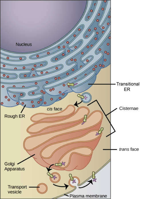 small resolution of structure diagram of animal cell