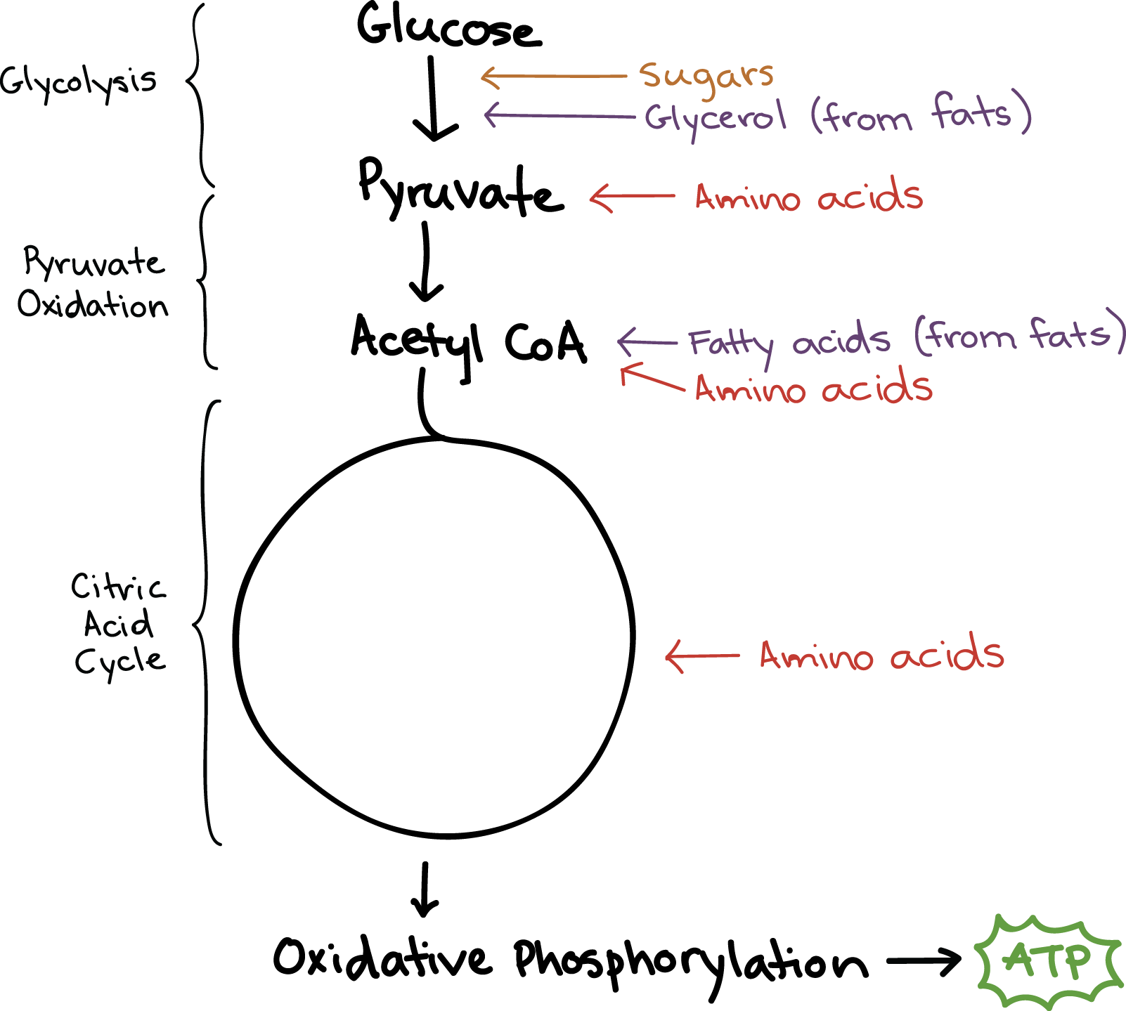 stages of glycolysis and fermentation diagram muscle workout anaerobic respiration imagenesmy