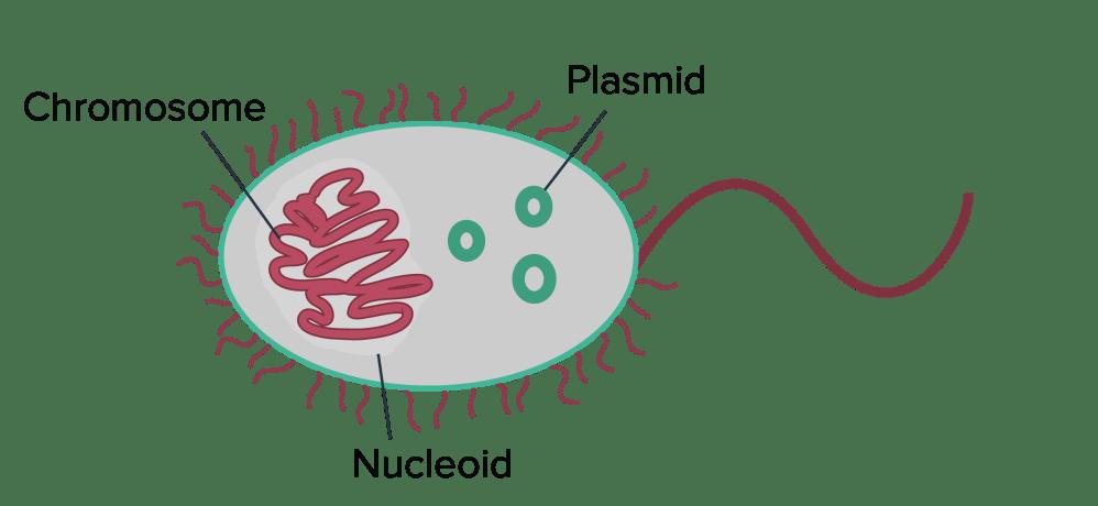 medium resolution of conjugation transformation transduction bacteria article khan academy