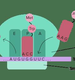 ribosome diagram [ 3342 x 1433 Pixel ]