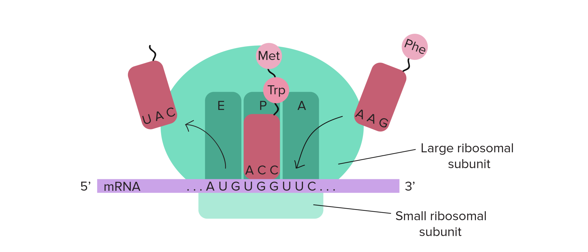 hight resolution of ribosome diagram