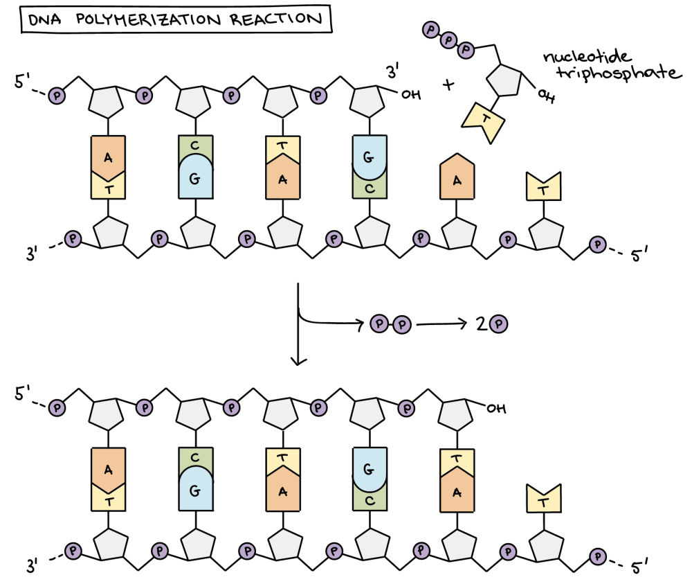 medium resolution of dna polymerization reaction the diagram shows a template dna strand paired up with a new dna