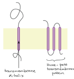 phospholipid bilayer cytosol cell diagram [ 1742 x 1528 Pixel ]