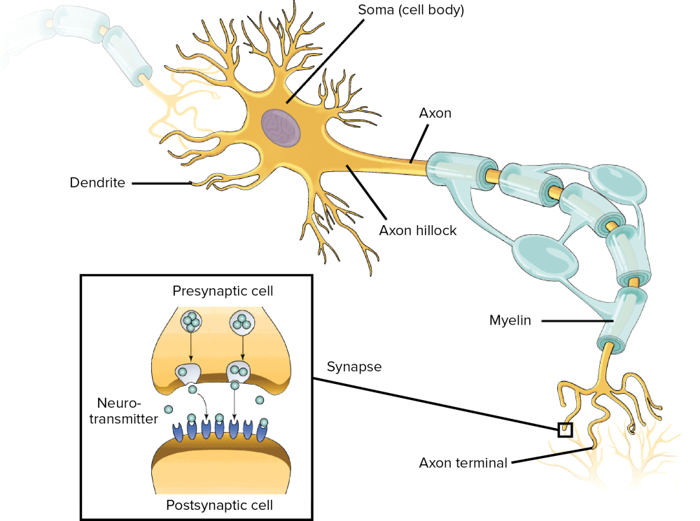 medium resolution of structure of a neuron at one end of the cell body and indeed