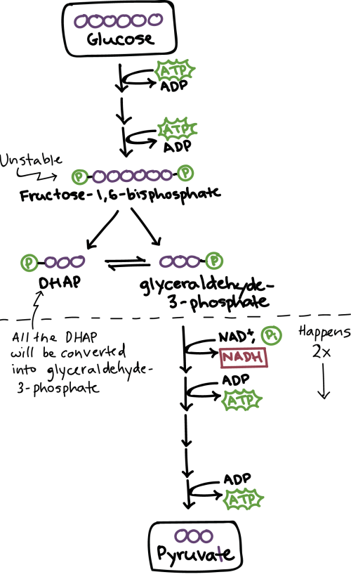 small resolution of simplified diagram of glycolysis energy investment phase glucose is first converted to fructose