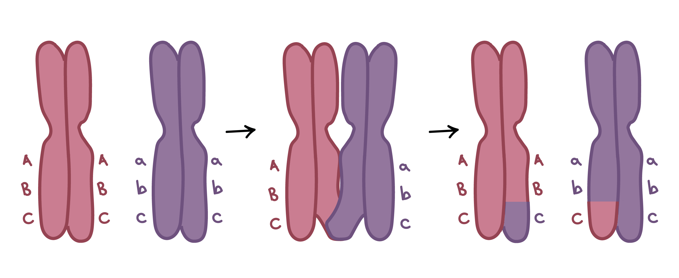 6 chromosomes crossing over diagram top hat trailer wiring write a definition of homologous using the