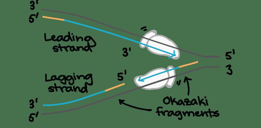 Dna replication homework