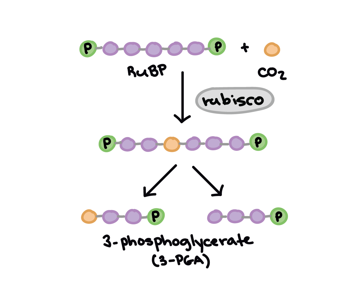 calvin benson cycle diagram microstructures w fe fe3c phase 3atp are produced in c3 chloroplast give