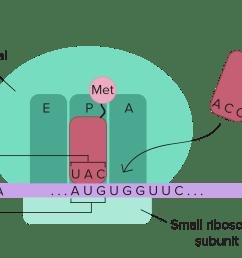 dna replication diagram labeled [ 3342 x 1433 Pixel ]