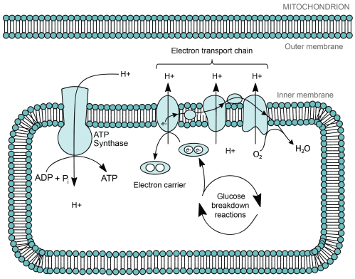 small resolution of phospholipid bilayer cytosol cell diagram