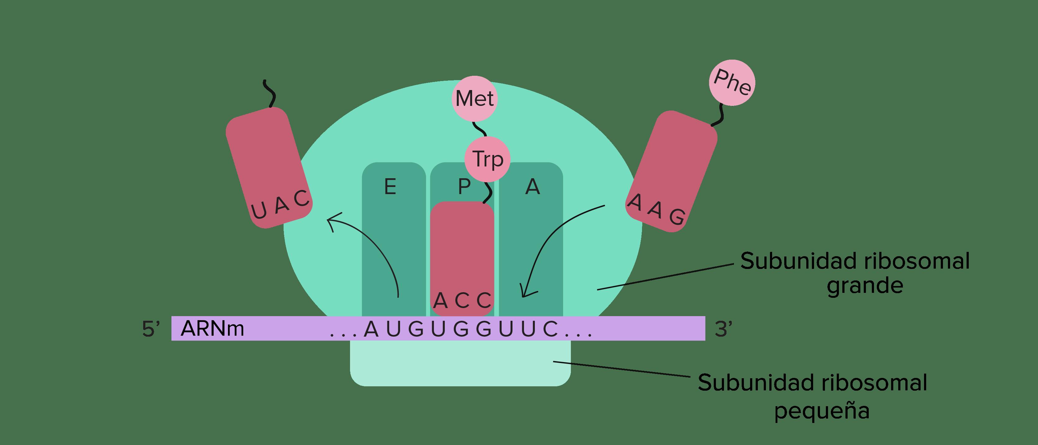 Arn Ribosomico Definicion