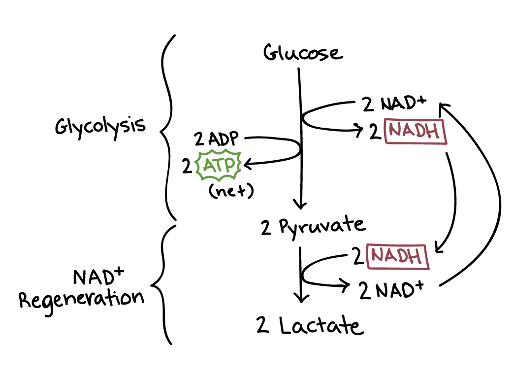 hight resolution of fermentation and anaerobic respiration cellular respiration article khan academy